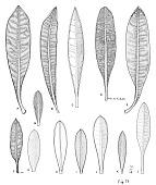 view Diplostephium floribundum subsp. floribundum digital asset number 1
