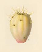 view Opuntia guerrana Griffiths digital asset number 1