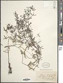 view Galium elongatum C. Presl digital asset number 1