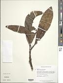 view Pouteria speciosa (Ducke) Baehni digital asset number 1