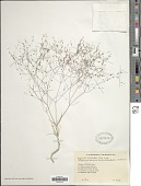view Asperula trichodes J. Gay ex DC. digital asset number 1