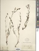 view Asperula galioides M. Bieb. digital asset number 1