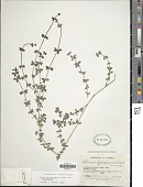 view Galium hypocarpium (L.) Endl. ex Griseb. digital asset number 1