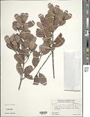 view Pouteria rigida (Mart. & Eichler) Radlk. subsp. rigida digital asset number 1
