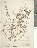 view Galium spurium L. digital asset number 1