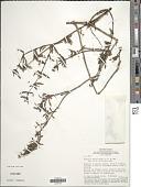 view Borreria verticillata (L.) G. Mey. digital asset number 1