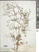 view Galium silvaticum L. digital asset number 1