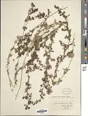 view Galium humifusum M. Bieb. digital asset number 1