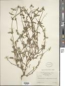 view Mitracarpus sagraeanus DC. digital asset number 1