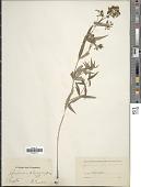 view Galium physocarpum Ledeb. digital asset number 1