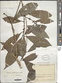 view Pouteria caimito (Ruiz & Pav.) Radlk. digital asset number 1