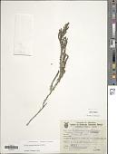 view Galium megapotamicum Spreng. digital asset number 1