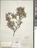 view Ernodea taylori Britton digital asset number 1