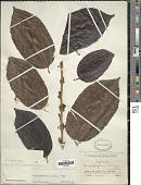 view Chrysophyllum argenteum subsp. auratum (Miq.) T.D. Penn. digital asset number 1
