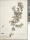view Galium pyrenaicum Gouan digital asset number 1