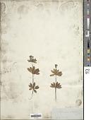 view Asperula odorata L. digital asset number 1