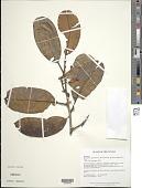 view Micropholis guyanensis subsp. duckeana (Baehni) T.D. Penn. digital asset number 1