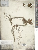 view Megarrhiza sp. digital asset number 1