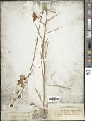view Campanula persicifolia L. digital asset number 1