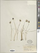 view Phyteuma hemisphaericum L. digital asset number 1