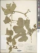 view Cayaponia latifolia Cogn. digital asset number 1