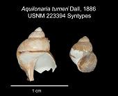 view Aquilonaria turneri Dall, 1886 digital asset number 1