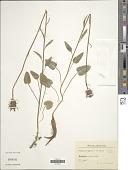 view Phyteuma nigrum F.W. Schmidt digital asset number 1