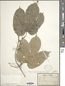 view Hodgsonia heteroclita (Roxb.) Hook. f. & Thomson digital asset number 1