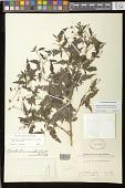 view Melanthera micrantha subsp. micrantha (Nutt.) W.L. Wagner & H. Rob. digital asset number 1