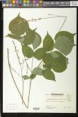 view Hylodesmum glutinosum (Muhl. ex Willd.) H. Ohashi & R.R. Mill digital asset number 1