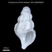 view Kurtziella cerina (Kurtz & Stimpson, 1851) digital asset number 1
