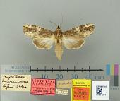view Nystalea marmorea Schaus, 1901 digital asset number 1