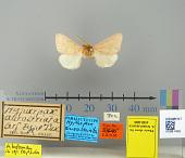 view Hyparpax aurostriata Graef, 1888 digital asset number 1