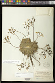 view Corallodiscus sericeus (Craib) B.L. Burtt digital asset number 1