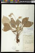 view Boea magellanica Lam. digital asset number 1