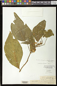 view Henckelia oblongifolia (Roxb.) D.J. Middleton & Mich. Möller digital asset number 1