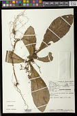 view Napeanthus macrostoma Leeuwenb. digital asset number 1