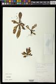 view Napeanthus jelskii Fritsch digital asset number 1