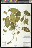 view Rhynchoglossum obliquum Blume digital asset number 1