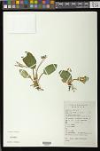 view Oreocharis auricula (S. Moore) C.B. Clarke digital asset number 1