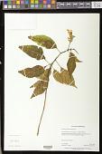view Hemiboea bicornuta (Hayata) Ohwi digital asset number 1