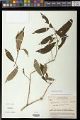 view Besleria formosa C.V. Morton in Standl. digital asset number 1