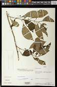 view Besleria solanoides Kunth var. solanoides digital asset number 1