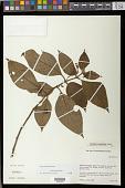 view Besleria pauciflora Rusby digital asset number 1