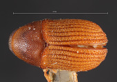 view Phloeosinus taxodii digital asset number 1