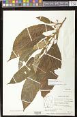 view Besleria filipes Urb. digital asset number 1