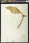 view Besleria petiolaris (Griseb.) Urb. digital asset number 1