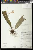 view Streptocarpus rexii Lindl. digital asset number 1