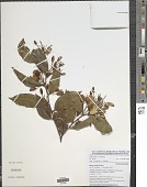 view Baphia laurifolia Baill. digital asset number 1