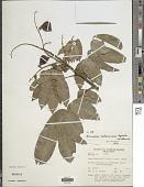 view Ormosia calavensis Azaola in Blanco digital asset number 1